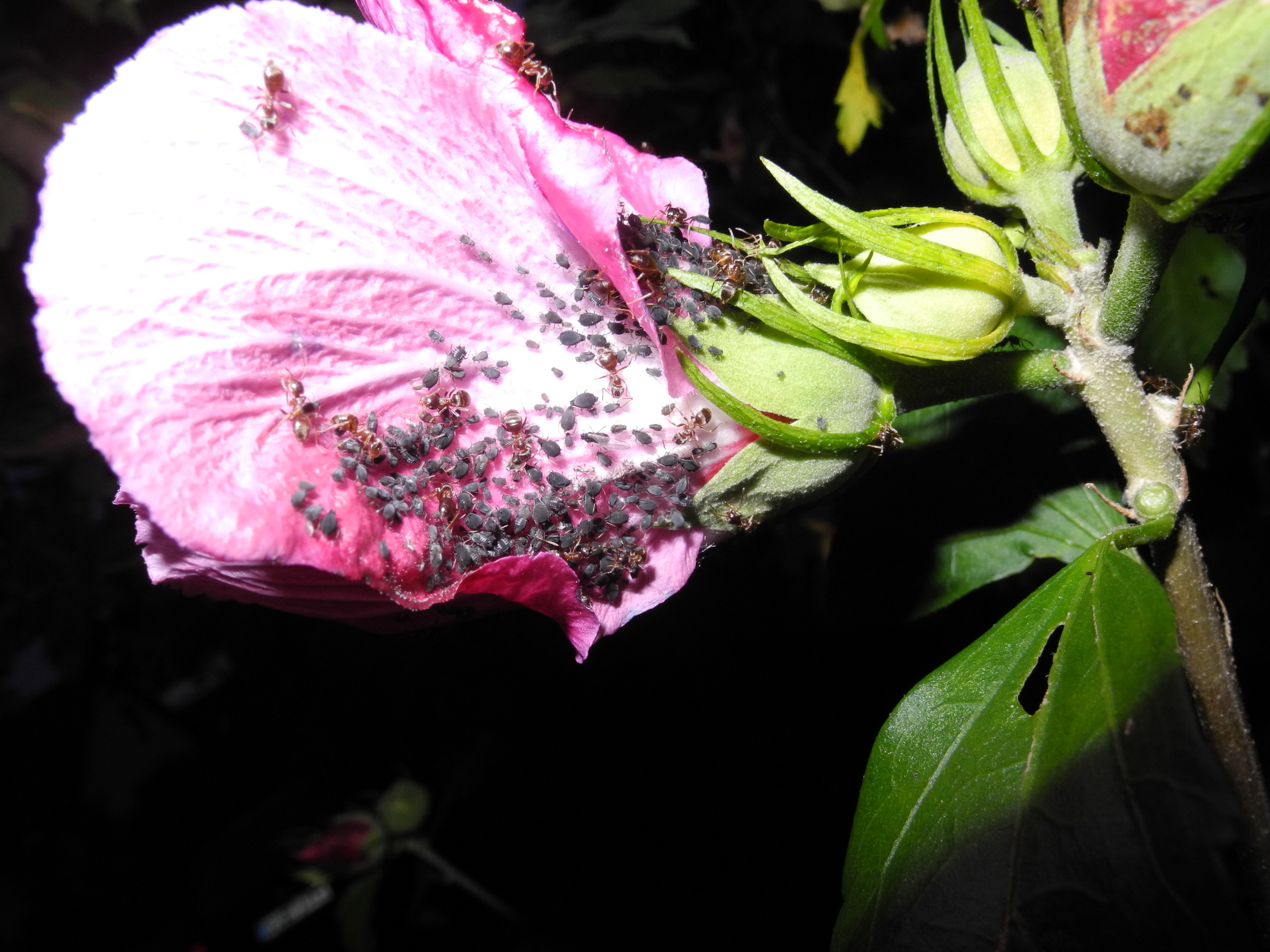 Macro Photo Rose And Lice Diy