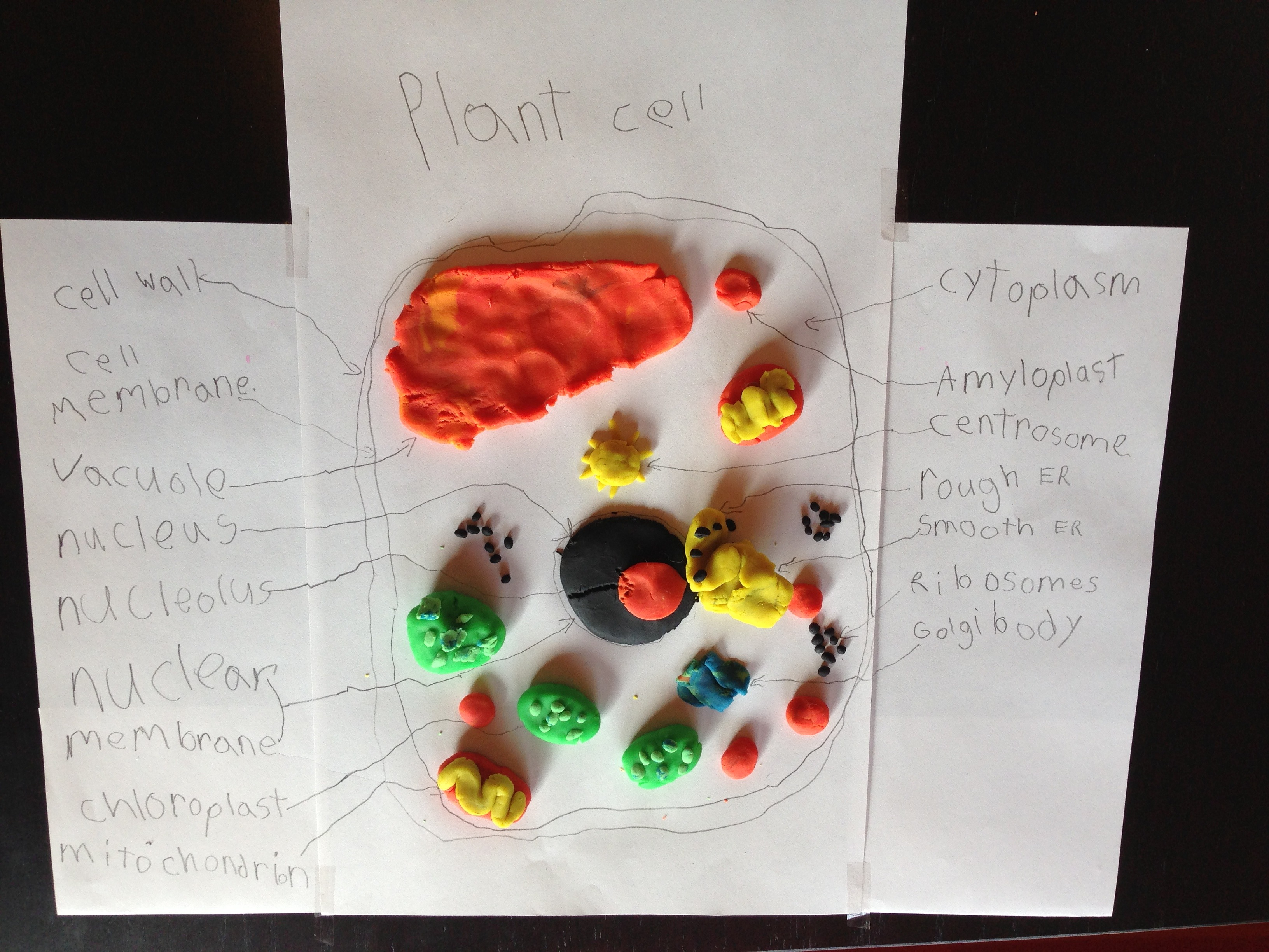 Play Dough Model Plant Cell